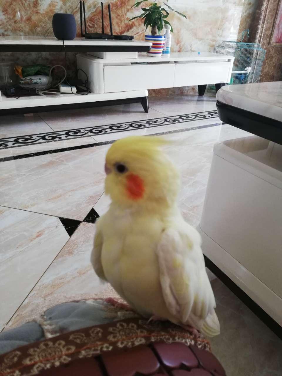 【寻人寻物】各位哥哥姐姐叔叔阿姨我丢了一只黄色鹦鹉
