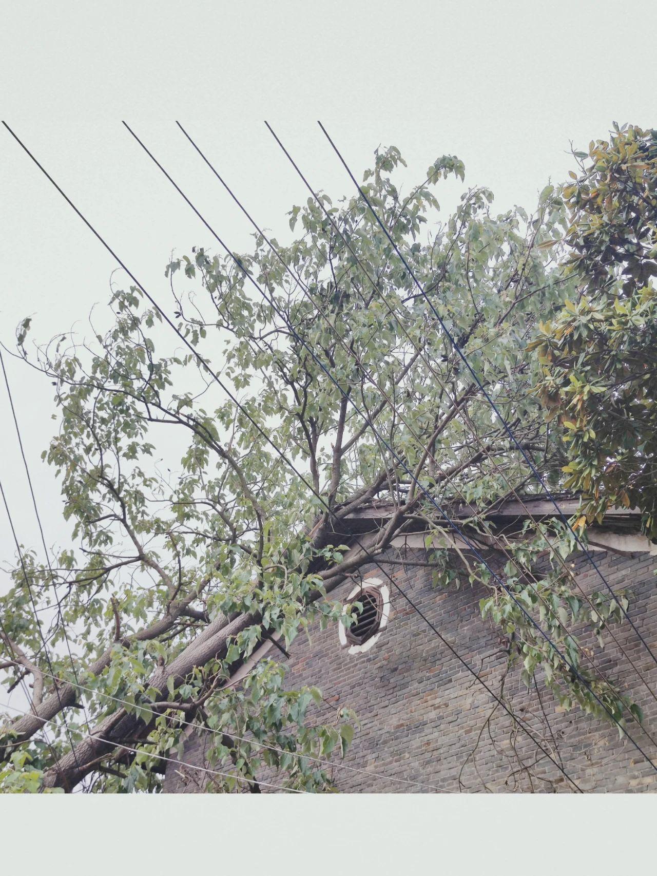 因恶劣天气,铅山一大树撞上老房屋,亟待处理!